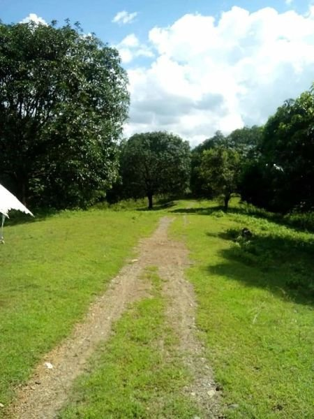 16 hectares lot for sale with mango trees, umingan, pang