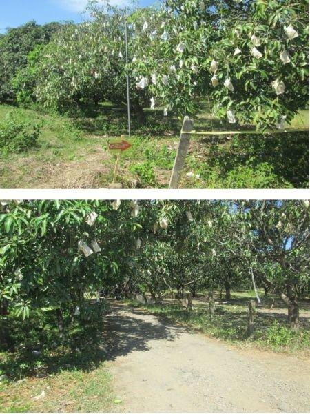 39 hectares mango farm, umingan, pangasinan
