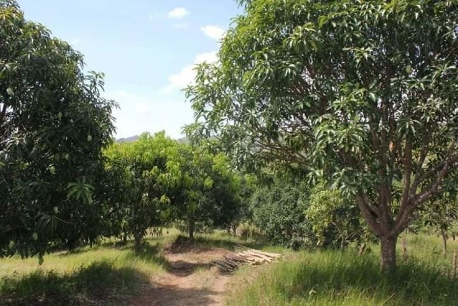 2 hectares lot for sale with 400 mango trees, nueva ecija