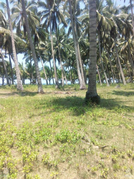 2.4 hectares more or less coconut farm with shoreline