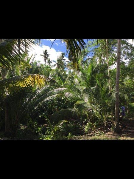 13.9hectares coconut banana and cacao farm at davao oriental