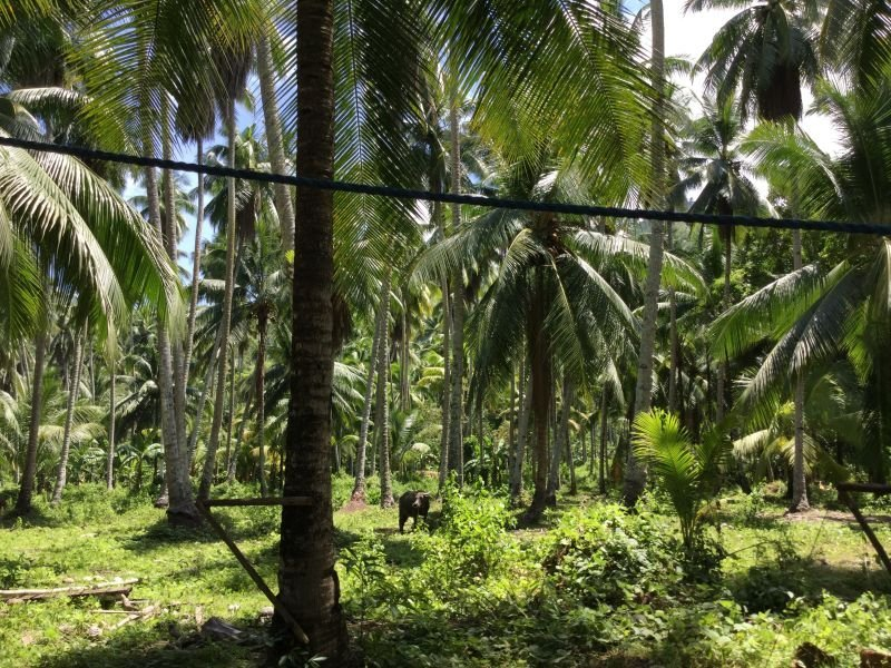 3 hectares coconut farm with simple house
