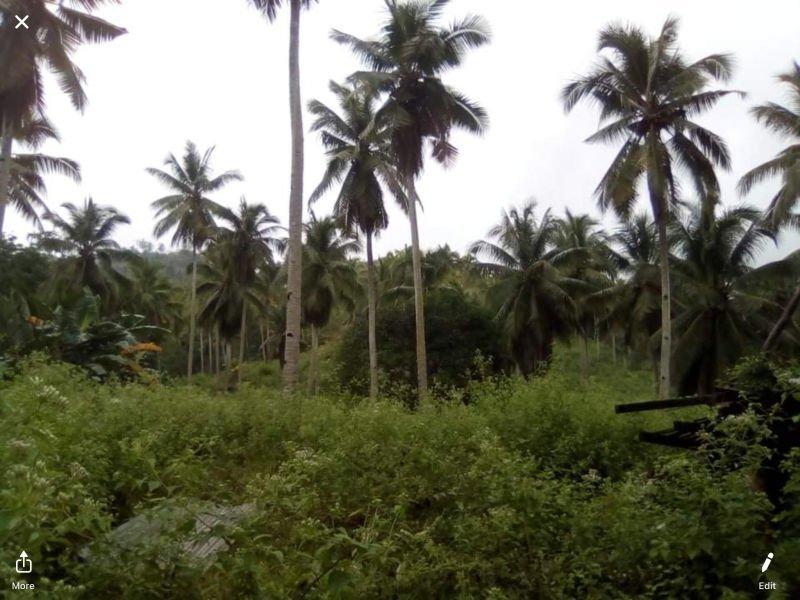 4 hectares coconut and mango farm at san isidro davao oriental