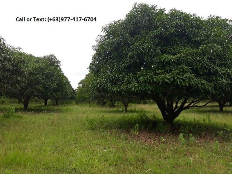 1 hectare mango plantation for sale in sibunag guimaras
