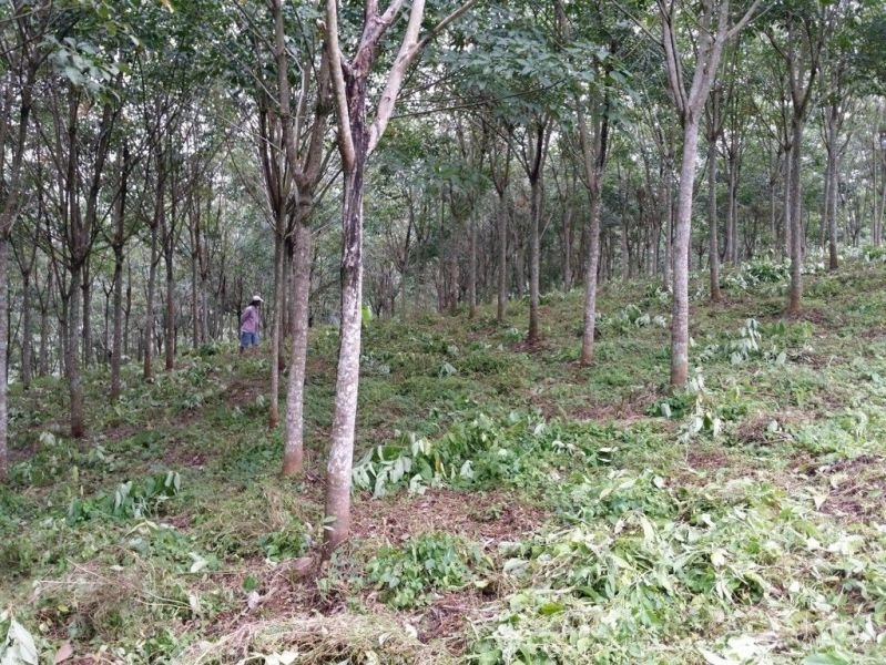 rubber farm in quezon bukidnon