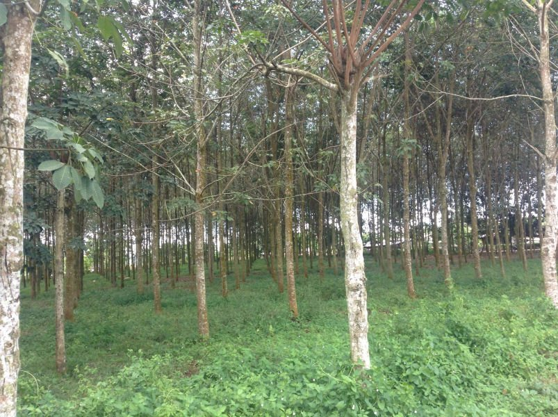 rubber farm for sale