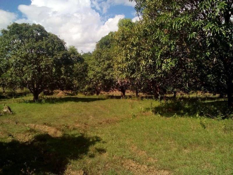 5.2 has mango farm at san jose, nueva ecija