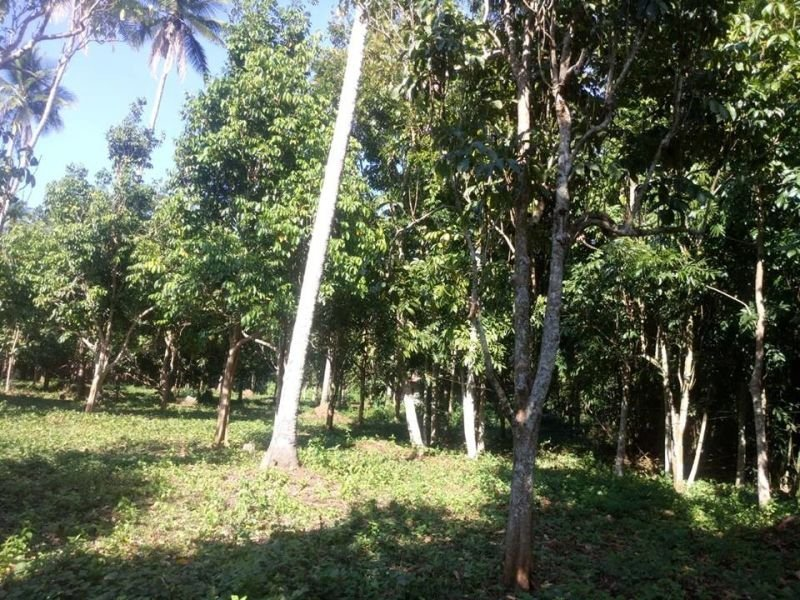 farm lot for sale-4has with planted of 7,700 trees calauan laguna